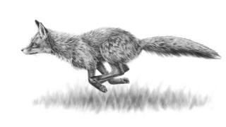 Fox_running
