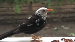 White-headed blackbird